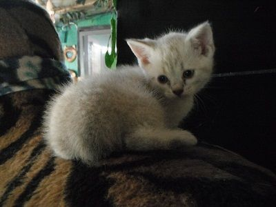 FOR SALE / ADOPTION: Snow Leopard Bengal-bob Kittens Ice Blue Eyes shots F.
