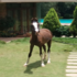 FOR SALE / ADOPTION: Marwari Panchakalyan female 10month old horse for sale