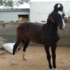 FOR SALE / ADOPTION: Marwari horse for sale Panchakalyan female filly