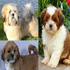 FOR SALE / ADOPTION: Lhasa Apso white male puppy sale in Chandigarh and Punjab