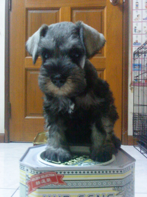 FOR SALE / ADOPTION: Adorable Schnauzer Puppy With MKA (Mini Size)