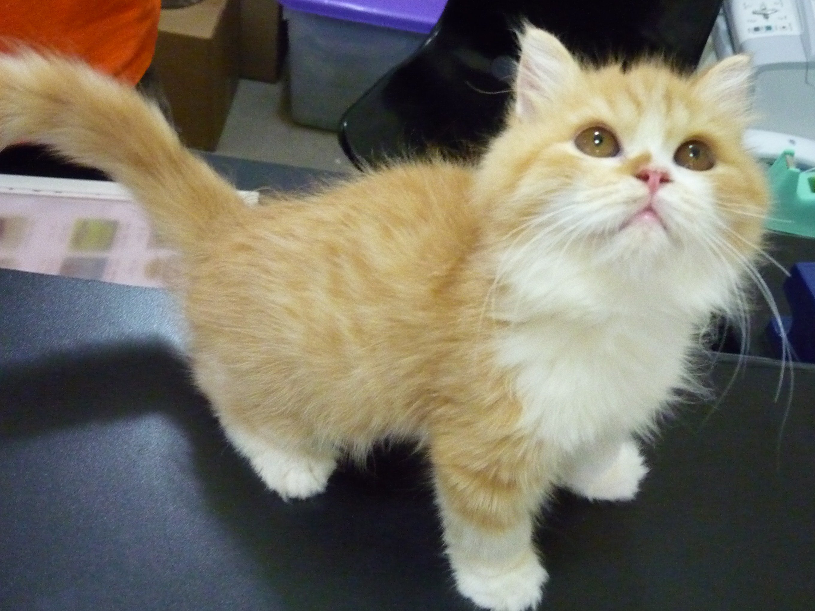 FOR SALE / ADOPTION: Red & White Tabby Persian Kitten