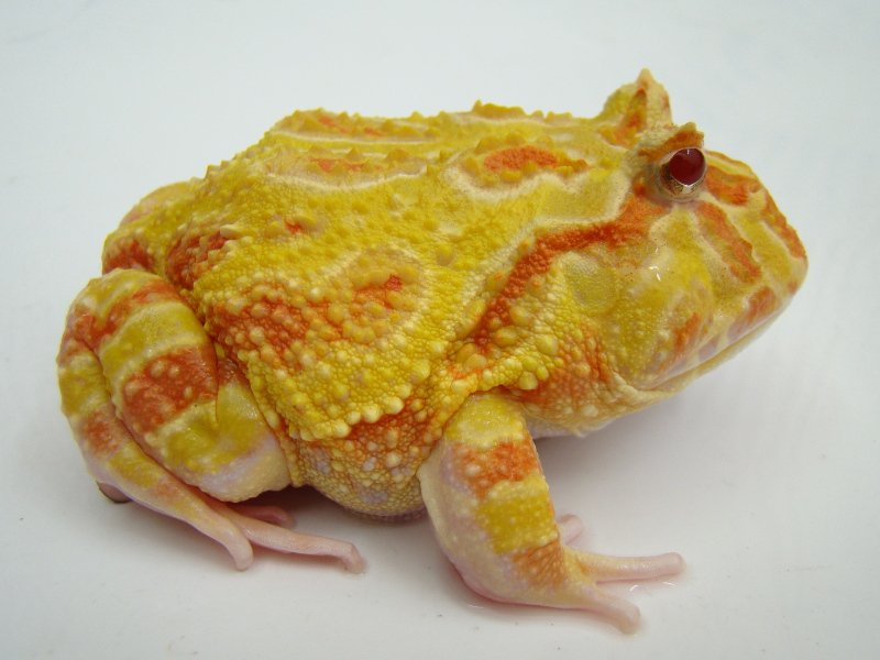 FOR SALE / ADOPTION: Albino Cranwell's Horned frog