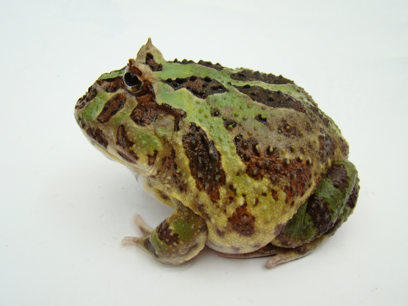 FOR SALE / ADOPTION: Cranwell's Horned frog