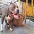 FOR SALE / ADOPTION: American Bully Dog