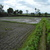 FOR SALE: Rice field farm