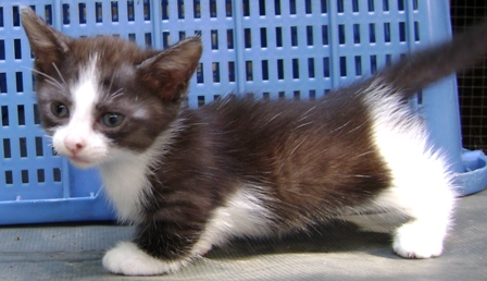 FOR SALE / ADOPTION: Munchkin & Napoleon kittens now available!