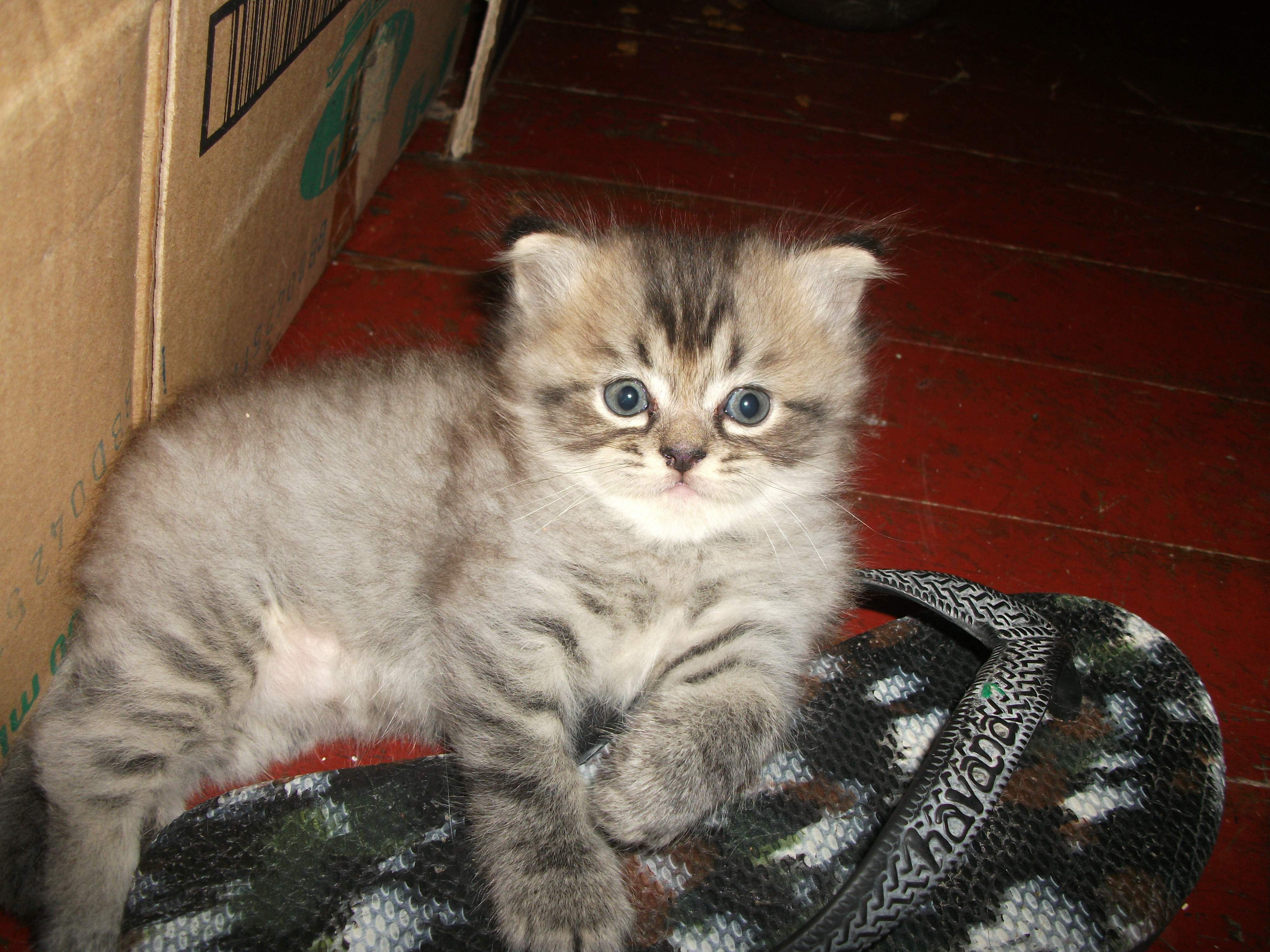 Persian cat kitten for sale philippines