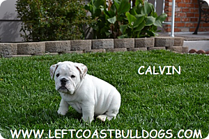 FOR SALE / ADOPTION: English Bulldog puppies for sale in California 707-689-7685